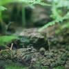 ナゴヤダルマガエルPelophylax porosus brevipodus