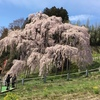 三春 平成最後の滝桜 満開!