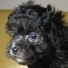 トイプードルのショーブリーダーの犬舎で、2月16日に子犬達が生まれました。