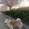 遊歩道で満開の桜&いつもの公園の桃の花