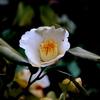 手賀沼遊歩道に咲く白い椿