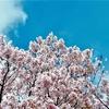 桜の季節! お花見団子はどうして三色なの?