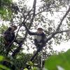 生息数を減らしているクアンナム省に生息しているハイイロドゥクラングールの記事