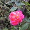 一季咲きのバラ 春風が狂い咲きしてた