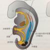 発生学4 泌尿・生殖器系