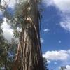 オーストラリアの木