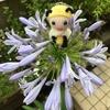 アガパンサスの花が咲きました♡