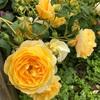 今年のバラについて起こった色々な出来事