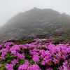 霧の大船山にヨウラクツツジ咲く