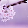 【妄想小説】桜が咲く前に/きのこ帝国 written by ちゃーすけ