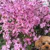 小さな桜?