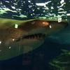 水族館にいたサメについて淡々と記録するよ①しながわ水族館編