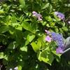 我が家の紫陽花は