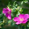 新皇后、雅子様のお印:ハマナスの花