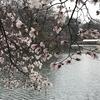 雨降りの桜の木の下で