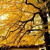 黄色く色付いたイチョウの葉が作る絨毯。