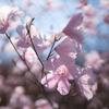 桜色のアカヤシオ