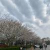 張江の桜から予想して上海の桜は今週~が見頃だと思われます。