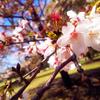 【写真】少しピークを過ぎたけど国分寺の葉桜を見てきました。【国分寺】