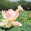 32.行田 古代蓮の里 蓮の花1