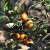 オレンジのプチトマト!?