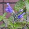 青系花植物