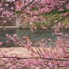 河津桜と桜ヨモギあんぱん