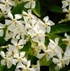 テイカカズラ 白色の花で,甘く強く香り,英語ではasiatic jasmineと呼ばれています.ハツユキカズラは,テイカカズラの園芸品種.名前は謡曲『定家』に由来との説があります.古名は古事記にも記されているマサキノカズラ.毒性は特に強いということはありませんが呼吸抑制,心毒性があるとのこと.同属のスタージャスミンからは,芳香成分が抽出され高級香水に利用されているそうです.キンポウゲ科の花たち6