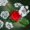 多重露光でバラの花