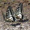 二頭のアゲハチョウと邪魔するアオスジアゲハ