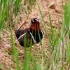 手賀沼付近のタマシギ
