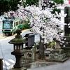 江ノ電 龍口寺の桜