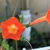 マルバ(ハ)ルコウ(ソウ)の花