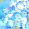紫陽花からのメッセージ…