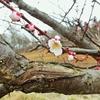 梅の花が咲いた