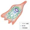 【医学部編入】生命科学講義・細胞の営み③ ~細胞骨格~