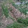 ネギの播種をしました。