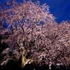 桜巡り2018①  六義園の夜のしだれ桜