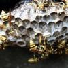 浜松市浜北区で狂暴な蜂の巣を駆除!