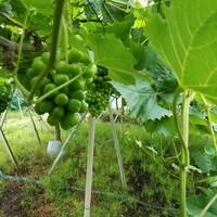 葡萄🍇畑か葡萄園か知らんけど袋がけの手伝いに行って疲れた。いい運動になりました。農家の人は働き者です。