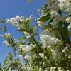 卯の花の匂う季節