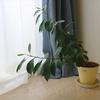 観葉植物を置きたいけど、お世話が苦手ならガジュマルがおすすめ
