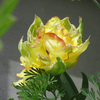 プレミアムチューリップが咲きました
