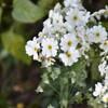 白い花もあります