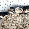白いツバメ ヒナすくすく 京丹後の民家