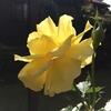 フリージアのおおらかな花にホッとする