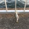 「魚滅の刃」コノシロ無限地獄列車^ ^(第22回ふれーゆ裏釣行20201205)