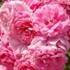 バラの中のバラ!ダマスクローズの肌・体・心への効果や効能など
