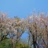 山桜とソメイヨシノ