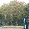 仙台西公園 C60広場 ケヤキのトンネル